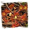 Temperate Sundews