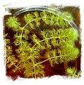 Aldrovanda vesiculosa {Botswana, Africa} / 5 plants