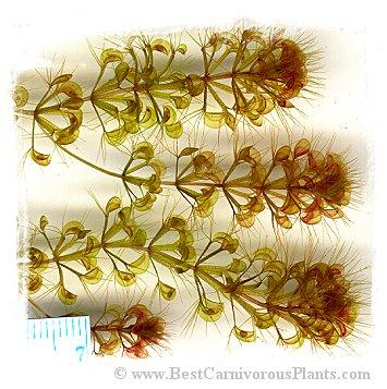 Aldrovanda vesiculosa {Esperance Bay, SW Australia}  / 5+ plants