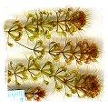 Aldrovanda vesiculosa {Armidale, E. Australia} / 5+ plants