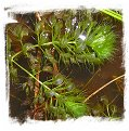 Aldrovanda vesiculosa {Bodensee, Switzerland} / 5 rostlin