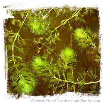 Aldrovanda vesiculosa {Miklaszovek, NE Poland} / 5+ plants
