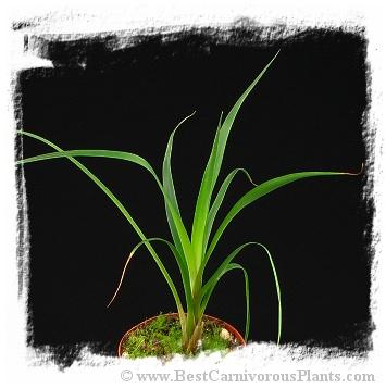 Brocchinia acuminata {small pygmy form, Gran Sabana}  / 8-15 cm