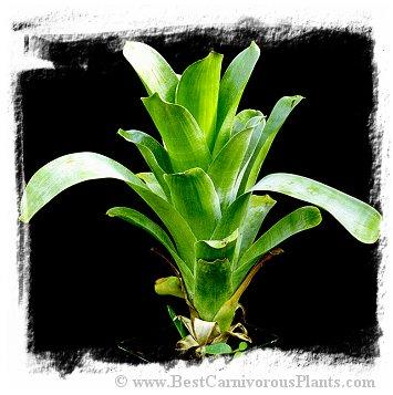 Brocchinia hechtioides {Gran Sabana, Venezuela} / 5-10 cm