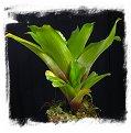 Brocchinia tatei {Cerro Duida, Venezuela} / 5-15 cm