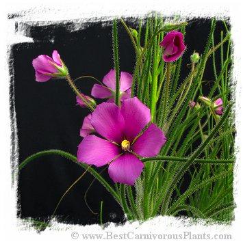 Byblis lamellata {Eneabba, Western Australia} (6s)