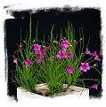 Byblis lamellata {Eneabba, Western Australia} (6 seeds)
