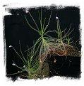 Byblis liniflora (10 seeds)