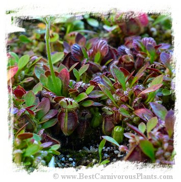 Cephalotus follicularis (Seedlings of Hummers Giant) / 3+ plantlets