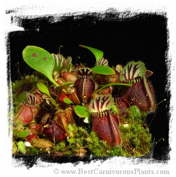 Cephalotus follicularis {mix of different forms} (7 seeds)