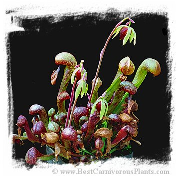 Darlingtonia californica {strong and hardy, UK clone} (30s)