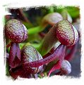 Darlingtonia californica {seed-grown} / 2+ plants