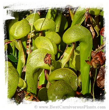 Darlingtonia californica {Florence, Oregon, USA} (20s)