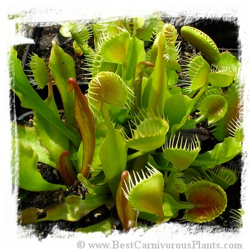 Dionaea muscipula 'Cupped Trap' / 3+ plants