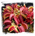Dionaea muscipula {Adult Plants - Different Forms Mix} / size 5+ cm