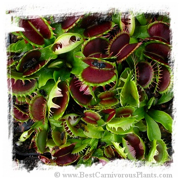 Dionaea muscipula {Fuzzy Tooth}