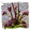 Dionaea muscipula 'Akai Ryu' / 3-8 cm