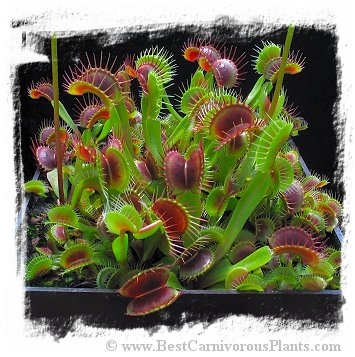 Dionaea muscipula  'BCP Red Bull' / 2+ plants