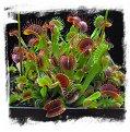 Dionaea muscipula  'BCP Red Bull' / 2+ rostlin