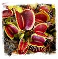 Dionaea muscipula 'B52 Giant' / 3+ plants