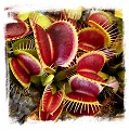 Dionaea muscipula 'B52 Giant' / 3+ rostlin