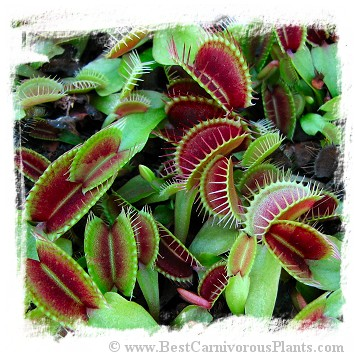 Dionaea muscipula (typical): Clone BCP 01-02 / 2+ plants
