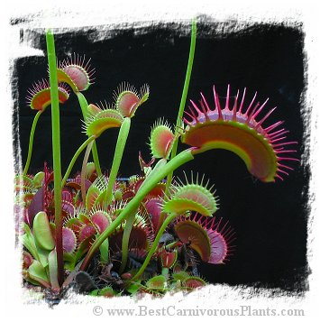 Dionaea muscipula (giant forms): Clone Z02 / 2+ plants