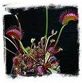 Dionaea muscipula  'BCP Titan' / 3+ rostlin