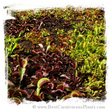 Dionaea muscipula {Different Forms Mix} / 1 plant, size 2-6 cm
