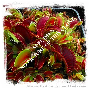 Dionaea muscipula {Low Round Form, clone via Japan} (10s)