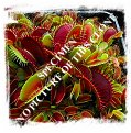 Dionaea muscipula {BCP Clone F01-F16 MIX, most of them all red, partially dentate forms} (10s)