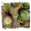 Drosera cv. BCP Andromeda 1st / 1+ plants