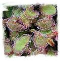 Drosera cv. BCP Andromeda 2nd / 1+ plants