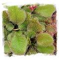 Drosera cv. BCP Andromeda 6th / 1+ plants