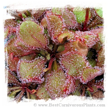Drosera cv. BCP Andromeda 7th / 1+ plants