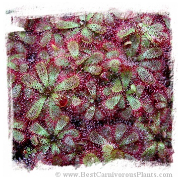Drosera admirabilis {Ceres, South Africa} / 2+ plants