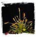 Drosera affinis {Namibia} / 2+ plants