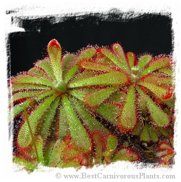 Drosera aliciae {large form, fuzzy scapes} (20s)