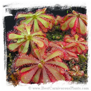 Drosera aliciae {mixed white and pink flowered forms, Tsisicama National Park, Eastern Cape, South Africa} (20s)