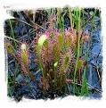 Drosera anglica {Giant, Slovenia} / 2+ plants