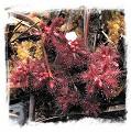 Drosera arenicola {Akopan Tepui, Venezuela} / 1+ plants