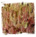 Drosera binata {T form, red plant, Waihohonu, Desert Road, NZ, 1080m} / 2+ plants