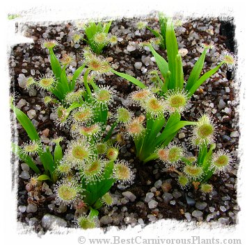 Drosera caduca {narrow leaf, pink flower; Bachsten Creek, Kimberley, AU} / 2+ plants
