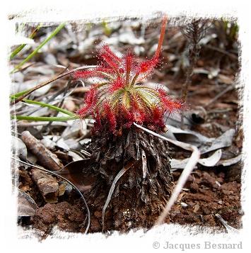 Drosera caledonica / 2+ plants