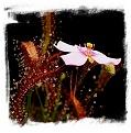 Drosera camporupestris {Serra do Cipo, Minas Gerais, Brazil} / 2+ plants