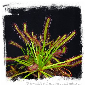 Drosera capensis {Vogelgat Nature Reserve, near Hermanus, RSA} / 2+ plants