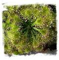Drosera capillaris {Ilha do Cardoso, SP, Brazil} / 2+ plants
