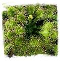 Drosera capillaris var. alba {Florida Panhandle, USA} / 2+ plants