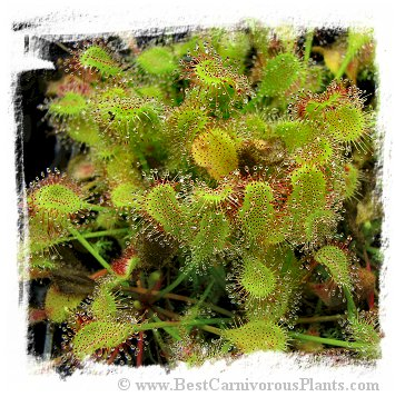 Drosera collinsiae {Fary Land, South Africa} (20s)