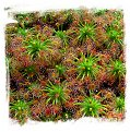 Drosera enodes {Scott River} / 4+ plants